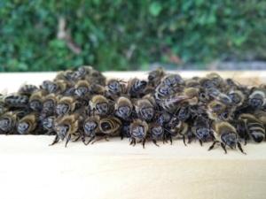 Sozialverhalten Bienen