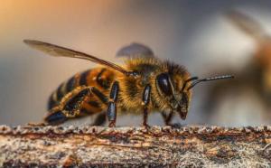 Arbeiterin Bienenstock