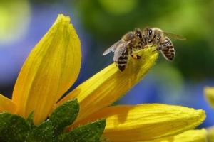 Folgen Bienensterben
