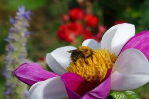 Sammlerbiene Bienenstock