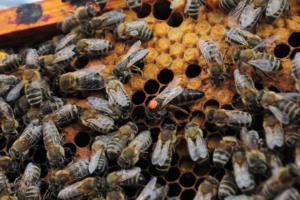 Bienenkönigin im Bienenstock