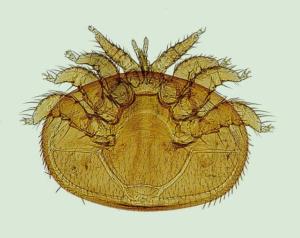 Varroamilbe Natürliche Feinde