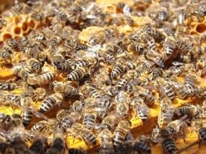 Schwänzeltanz Biene