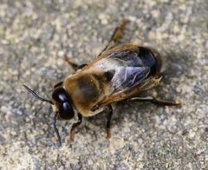 Drohne Bienenstock