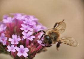 Bestäubung durch Honigbiene