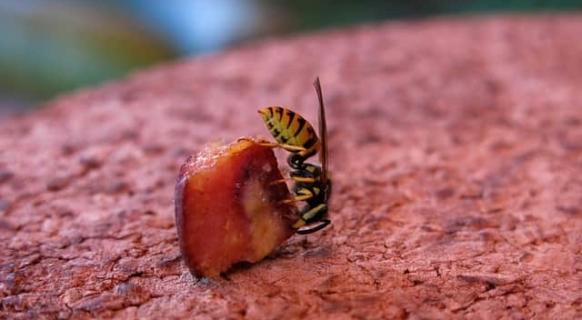 Wespen benötigen Zucker für ihren Eigenbedarf