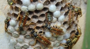 Wespennest einer solitären Wespe