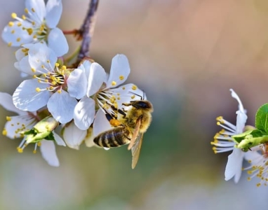 Honigbiene bei Bestäubung