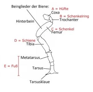 Anatomie Biene
