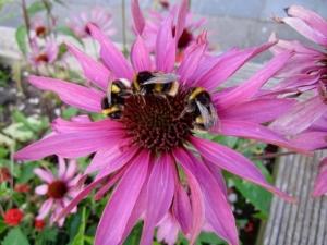 Kommunikation zwischen Hummelbienen
